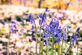 Beautiful bluebells in spring forest Royalty Free Stock Photo