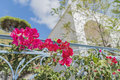 Beautiful bougainvillea and blurred Greek house and plants in the background.Santorini ( Thira ) island. Royalty Free Stock Photo
