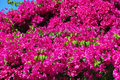 Beautiful bougainvillea bright branches of Stock Photos