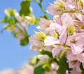 Beautiful bougainvillea flowers against blue sky Royalty Free Stock Photo