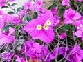 Beautiful bougavilles is pink it look like girl who is gentleness Royalty Free Stock Image