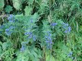 Beautiful bouquet of blue flowers in the french alps mountain. Royalty Free Stock Photo