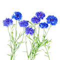 Beautiful bouquet of cornflowers  isolated on white background Royalty Free Stock Photo