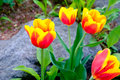Beautiful bouquet of tulips with nutural rock background Royalty Free Stock Photo