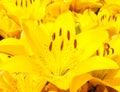 Beautiful bouquet of yellow lilies closeup Royalty Free Stock Image