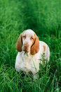 Beautiful Bracco Italiano standing in high green grass