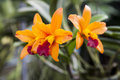 Beautiful branch of orange flowers of orchids. Orchid Garden Thailand Phuket. Royalty Free Stock Photo