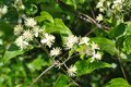 Beautiful bright green tree with little white flowers Royalty Free Stock Photo