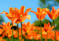 Beautiful bright orange tulips and blury blue sky. Spring floral background. Royalty Free Stock Photo