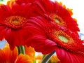Beautiful bright red flowers up close Royalty Free Stock Photo