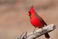 Beautiful bright red Northern Cardinal male Royalty Free Stock Photo