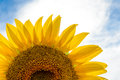 Beautiful bright sunflower against a blue sky the Stock Images