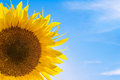 Beautiful bright sunflower against a blue sky the Stock Photos