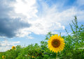 Beautiful bright sunflower in the green field under stormy sky Royalty Free Stock Images