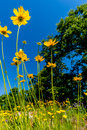 Beautiful Bright Yellow Lanceleaf Coresopsis Wildflowers in a Fi Royalty Free Stock Photo