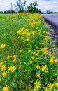 Beautiful Bright Yellow Lanceleaf Coresopsis Wildflowers on the Royalty Free Stock Photo
