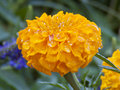 Beautiful Bright Yellow Marigold Blazing in the Summer Sun Royalty Free Stock Photo