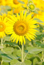 Beautiful bright yellow sunflower field Stock Photo