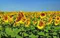 Beautiful bright yellow sunflower or helianthus grown in agriculture for its seeds and oil growing outdoors in a sunny field Royalty Free Stock Photos