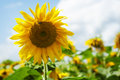 Beautiful bright yellow sunflower or helianthuscancel upload grown in agriculture for its seeds and oil growing outdoors in a Stock Photo