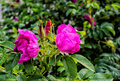 Beautiful brightly pink flowers. Flower of a wild rose and green foliage. An unusual background. Royalty Free Stock Photo