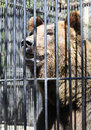 Beautiful brown bear in a cage. Stock Image