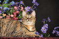 Beautiful brown cat among the flowers in studio Royalty Free Stock Photo