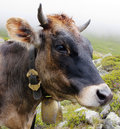 Beautiful brown head of cow Royalty Free Stock Images