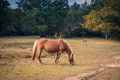 Beautiful brown Horse grazing Royalty Free Stock Photo