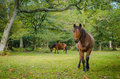 Beautiful brown Horse grazing in the background.horse looking at the camera in the foreground Royalty Free Stock Photo