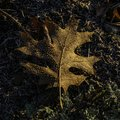 Beautiful Brown Oak Leaf on the Ground Glistening in Morning Dew Royalty Free Stock Photo