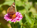 Beautiful Buckeye butterfly Royalty Free Stock Photo