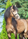 Beautiful buckskin welsh pony stallion sunny day Royalty Free Stock Photo