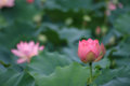 The beautiful bud lotus in summer attractive is budding Royalty Free Stock Images