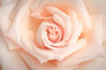 Beautiful bud of rose close up as background cream Royalty Free Stock Photos