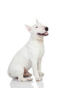 Beautiful bullterrier dog on a white background with reflection on the floor Royalty Free Stock Photography