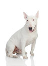 Beautiful bullterrier on a white background with reflection on the floor Royalty Free Stock Images