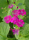 Beautiful bunch of cineraria flowers Royalty Free Stock Images