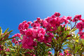 Beautiful bush pink flowers with blue sky background closeup Stock Photos