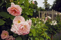 Beautiful bush of pink roses in the garden in Baden, Austria. Blooming rosary. Royalty Free Stock Photo