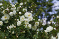 Beautiful bush with white flowers of wild english rose in the garden, lovely landscape of nature