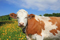 Beautiful buttercup meadow and cow Royalty Free Stock Photo