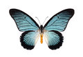 Beautiful butterfly with cyan wings isolated on white.