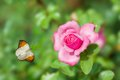 Beautiful butterfly flies over pink rose Stock Photo