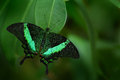 Beautiful butterfly. Green swallowtail butterfly, Papilio palinurus. Insect in the nature habitat. Butterfly sitting in the green Royalty Free Stock Photo