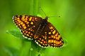 Beautiful butterfly, Heath Fritillary, Melitaea athalia, sitting on the green leaves, insect in the nature habitat, spring in the Royalty Free Stock Photo