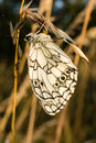 Beautiful butterfly Melanargia galathea. Royalty Free Stock Photo
