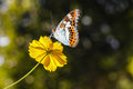 Beautiful butterfly resting on yellow cosmos flower againt sun light Stock Photography