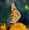 Beautiful butterfly rests on flower Royalty Free Stock Photo