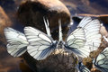 Beautiful butterfly on the rocks near the water nature spring icy Royalty Free Stock Photography